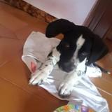 Dino, Chiot  à adopter