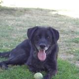 Lucky, Chien border collie, labrador retriever à adopter