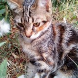 Naya, Chaton  à adopter