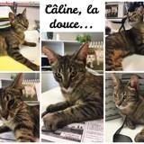 Câline adorable et affectueuse chatte de 1 an, Chat européen à adopter