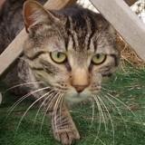 Tougi, Chat européen à adopter