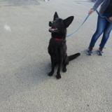 Belmondeau, Chiot chien du groenland à adopter
