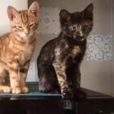 Nallia, Chaton  à adopter