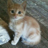 Niels, Chaton  à adopter