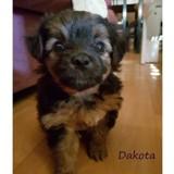 Dakota, Chiot  à adopter