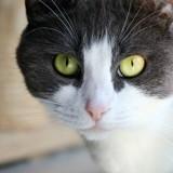 Nyada, Chat européen à adopter