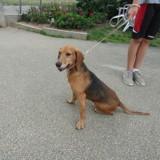 Carlos, Chien anglo-français de petite vénerie, beagle à adopter