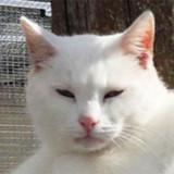 Gotha blanc aux yeux verts, Chat européen à adopter