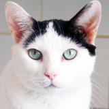 Titoune les beaux yeux, Chat européen à adopter