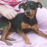 Mylti, Chiot pinscher à adopter