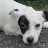 Naïs, Chiot  à adopter