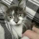 Nikita, Chaton gouttière à adopter