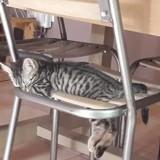 Stella, Chaton  à adopter