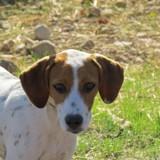Yona, Chiot beagle à adopter