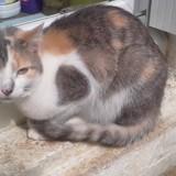 Tara, Chat  à adopter