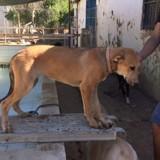 Kia, Chiot lévrier espagnol, mâtin espagnol à adopter