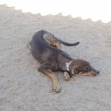 Lada, Chiot lévrier espagnol, mâtin espagnol à adopter