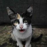 Praline, Chaton  à adopter