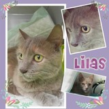 Lilas, Chaton  à adopter