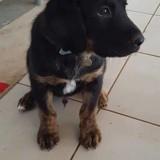 Nox, Chiot  à adopter