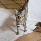 Jolie minette, Chat  à adopter