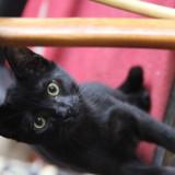 Prunelle chatonne noire de 4 mois 1/2, Chaton  à adopter