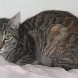 Vaianna chatonne tigré/gris de 6 mois, Chaton  à adopter