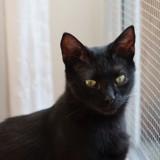 Micha chat noir de 1 an 1/2, Chat  à adopter