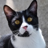 Jeckel chat blanc/noir de 1 an, Chat  à adopter