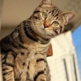 Remus chat tigré de 2 ans, Chat à adopter