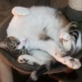 Tiya femelle tigré/blanc de 4 ans, Chat  à adopter