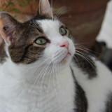 Idefix chat tigré/blanc de 4 ans, Chat  à adopter