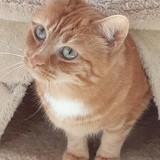 Mylene femelle tigré/roux de 3 ans 1/2, Chat à adopter