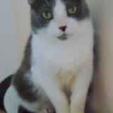 Karen femelle gris/blanc de 9 ans, Chat à adopter