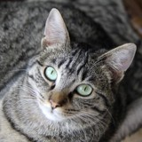 Chouquette femelle tigrée de 2 ans, Chat à adopter
