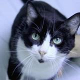 Tobby chat fix blanc/noir de 5 ans, Chat à adopter