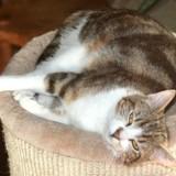 Espoir femelle tigré/blanc de 4 ans, Chat à adopter