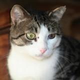 Mercredi chat tigré/blanc de 4 ans 1/2, Chat à adopter