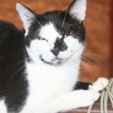 Ploo chat blanc/noir de 5 ans 1/2, Chat à adopter