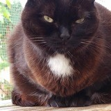 Yumi, Chat européen à adopter