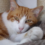 Sos dimide le meilleur copain, Chat européen à adopter