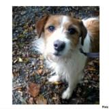 Fifi, Chien fox-terrier à adopter