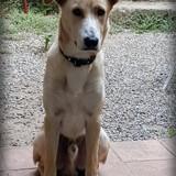 Chrono, Chiot berger d'asie centrale, labrador retriever à adopter