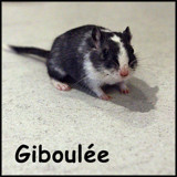 Giboulée, Animal  à adopter