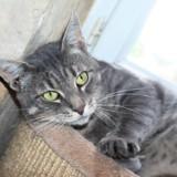 Inouk chat tigré/gris de 3 ans 1/2, Chat  à adopter