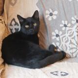 Clarence femelle noire de 7 mois, Chaton  à adopter
