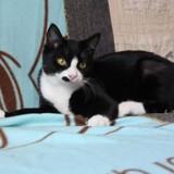 Clarabelle femelle noir/blanc de 7 mois, Chaton  à adopter