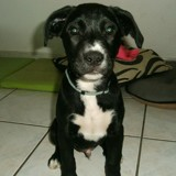 Tyson, Chiot  à adopter