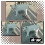 Pinko, Chat  à adopter