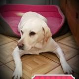 Louna, Chien labrador retriever à adopter